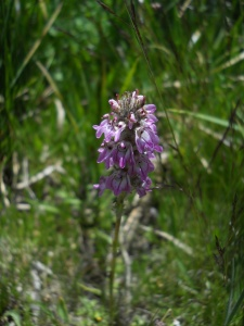 Pedicularis attolens