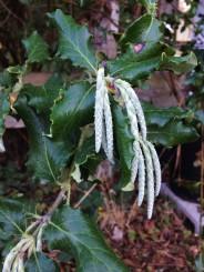 Garrya elliptica - Wavy leaf silk tassel (male). Native Here Nursery, Berkeley, CA