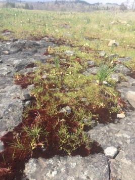 Stunning auburn rock lichen
