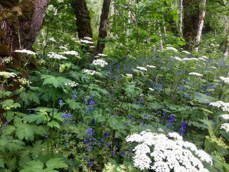 Cow parsnip and larkspur